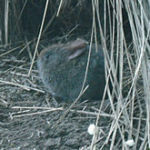 Romerolagus rabbit