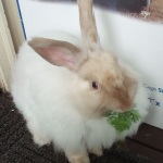 French angora rabbit breed