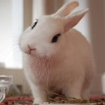 Blanc de hotly rabbit breed