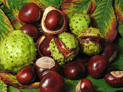 can rabbits eat conkers