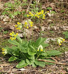 can rabbits eat cowslip