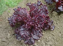 can rabbits eat red leaf lettuce